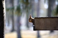 The red squirrel gnaws nuts in a feeding trough Stock Photos