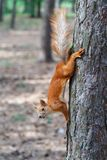 Red squirrel gnaws nuts in the park. Cute animal royalty free stock photo