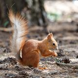 Red squirrel gnaws nuts in the park. Cute animal stock image