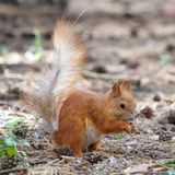 Red squirrel gnaws nuts in the park. Cute animal royalty free stock images