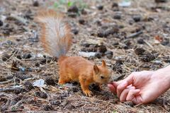 Red squirrel gnaws nuts in the park. Cute animal stock images