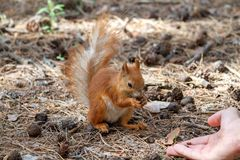 Red squirrel gnaws nuts in the park. Cute animal stock photography
