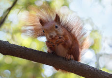Red squirrel gnaws a walnut sitting on a cooking timber Stock Photos