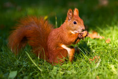 Red squirrel on the grass Stock Image