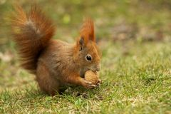 Red squirrel on grass eating walnut. Red squirrel on grass eating a walnut sitting on a carpet of grass Stock Images
