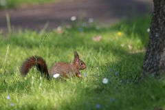 Red squirrel in grass Stock Photography