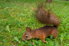Red squirrel on the grass Royalty Free Stock Photo