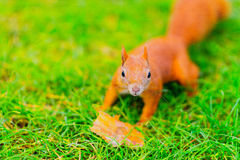 Red squirrel on the grass Stock Images