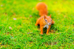 Red squirrel on the grass Stock Photos