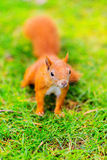 Red squirrel on the grass Royalty Free Stock Photos