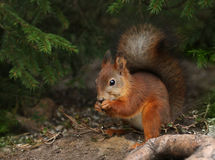 Red squirrel in green forest environment Stock Photos