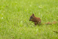 Red squirrel in green grass Royalty Free Stock Photography
