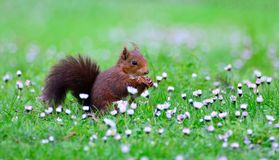 Red squirrel on green meadow Royalty Free Stock Images