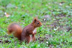 Red squirrel on green meadow Royalty Free Stock Photography
