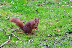 Red squirrel on green meadow Stock Images