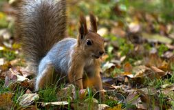 Red squirrel, grey winter coat, jumping in the autumn park, green grass, yellow leaves Stock Photos