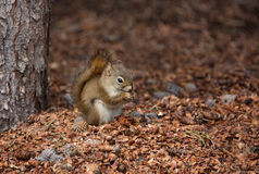 Red squirrel on ground eating, close up Royalty Free Stock Images