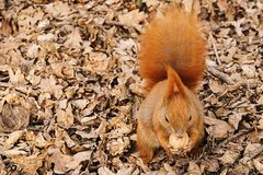 The red squirrel on the ground eats a walnut.  stock photos