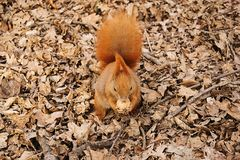 The red squirrel on the ground eats a walnut.  royalty free stock photos