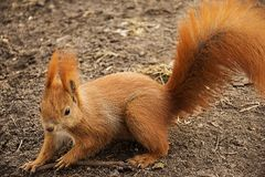 Red squirrel on the ground looking at the camera.  stock images