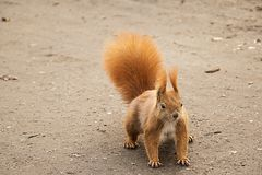 Red squirrel on the ground ready to escape Royalty Free Stock Image