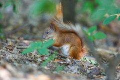 Red squirrel on the ground, tree in the summer park. Nature stock photo