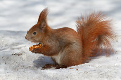 Red squirrel with half a walnut on the white snow Stock Photos