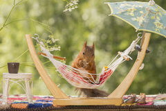 Red squirrel and a hammock under an umbrella Royalty Free Stock Images