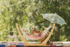Red squirrel on a hammock Royalty Free Stock Photography