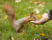Red squirrel and hand feedding Stock Photography