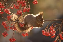 Squirrel hanging on branches with berries. Red squirrel is hanging on branches with berries Royalty Free Stock Photo