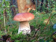 A red squirrel is hanging down the tree behind a big mushroom. In the forest among the moss Stock Photography