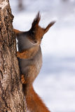 Red Squirrel hanging on tree Royalty Free Stock Photo