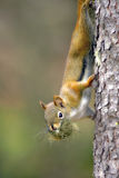 Red Squirrel. Hanging on tree holding nesting material in mouth Stock Photo