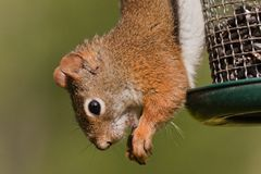 Red squirrel hanging upside down at a bird feeder royalty free stock photography
