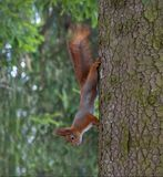 Red Squirrel hangs down of sput trunk royalty free stock images