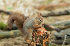 Red Squirrel with Hazel Nut royalty free stock photography