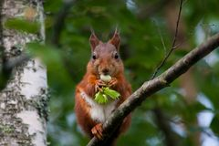 Red squirrel with hazelnut Stock Photo