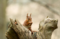 Red Squirrel with Hazelnut Stock Images