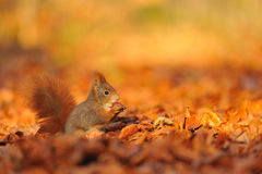Red squirrel with hazelnut on fallen leafs Royalty Free Stock Photos