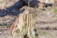 Red squirrel. A red squirrel hiding behind a branch in the forest royalty free stock photo