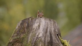 Squirrel is hiding in  tree Stock Photos