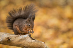 Red squirrel with his tail keeping him warm