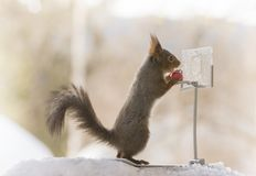 Red squirrel holding a basketball with backboard. Red squirrel is holding a basketball with backboard Stock Images