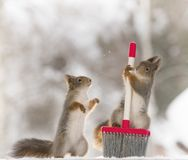 Red squirrel holding a brush. Red squirrel is holding a brush Royalty Free Stock Photography