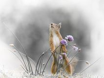 Red squirrel holding chive flowers Stock Photos