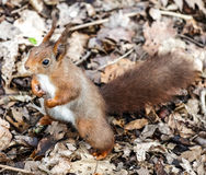 Red squirrel holding fists full of seeds. Royalty Free Stock Photography