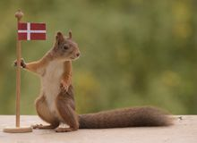 Squirrel holding a flag of Denmark Stock Images
