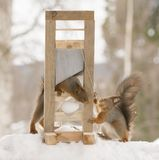 Red squirrel holding a Guillotine with a egg. Red squirrel is holding a Guillotine with a egg Royalty Free Stock Photography