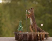 Squirrel holding a microphone. Red squirrel is holding a microphone Royalty Free Stock Images